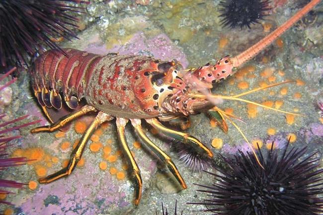 960-lobster_1
